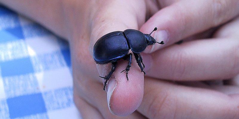 einer gepanzerter käfer